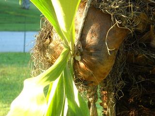 New sterile leaf start in the center