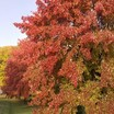 Maples_acer_x_freemanii_sienna_pp11_322.thumb