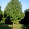Maples_acer_saccharum_morton.thumb