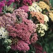 Yarrow, 'Summer Pastels'