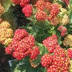 Yarrow, 'Strawberry Seduction'