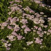 Yarrow_achillea_millefolium_wonderful_wampee_pp18_760-1.thumb
