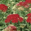 Yarrow, 'Pomegranate'