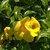 Tropicals_allamanda_cathartica_cv._hendersonii.small