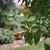 Tropicals_allamanda_cathartica_cv._hendersonii-1.small