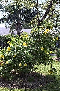 Tropicals_allamanda_cathartica_cv._hendersonii-2.full