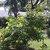 Tropicals_allamanda_cathartica_cv._hendersonii-2.small