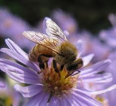 Bee%20on%20aster.full
