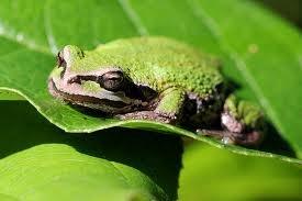 Frog on Salal leaf