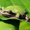 Frog%20on%20salal.thumb