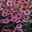 Coneflowers_echinacea_purpurea_magnus_superior.thumb