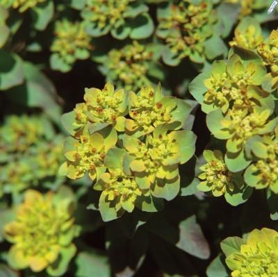Euphorbias_euphorbia_polychroma_bonfire_pp18_585.full