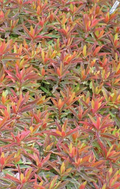 Euphorbias_euphorbia_polychroma_bonfire_pp18_585-1.full