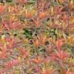 Euphorbias_euphorbia_polychroma_bonfire_pp18_585-1.thumb