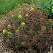 Euphorbias_euphorbia_polychroma_bonfire_pp18_585-2.thumb