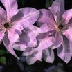 Clematis_clematis_evipo035-2.thumb