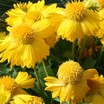 "Blanket Flower, Mesaâ""¢ Yellow"