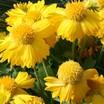 Gaillardia_gaillardia_grandiflora_mesa_yellow_f1.thumb