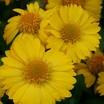 Gaillardia_gaillardia_grandiflora_mesa_yellow_f1-1.thumb