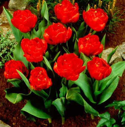 Tulips_tulipa_stockholm-1.full