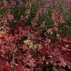 Coral_bells_heuchera_fire_chief_pp21_880-2.thumb
