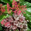 Coral_bells_heuchera_milan_pp21_682-1.thumb