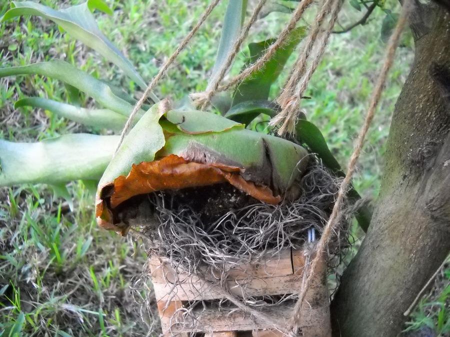Staghorn_fern_sterile_leaves.full