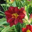 Daylilies_hemerocallis_prairie_wildfire.thumb