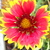 Blanket_flower.small