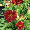 Daylilies_hemerocallis_prairie_wildfire-1.thumb
