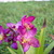 Ground_orchid_110809.small