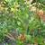 Orange_jasmine_berries.small