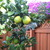 Navel_oranges_ripening_11809.small