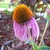 Cone_flower.small