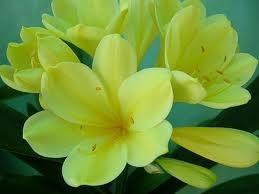 Bulbs_clivia_miniata_yellow.full