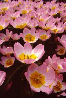 Tulip_lilac_wonder.full