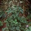 Anemone_anemone_vitifolia_robustissima.thumb