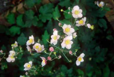 Anemone_anemone_vitifolia_robustissima-1.full