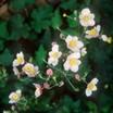 Anemone_anemone_vitifolia_robustissima-1.thumb