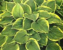 Hosta, fortunei 'Aureo-Marginata'