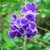 Tropicals_duranta_erecta-5.small