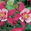 Columbine_aquilegia_x_caerulea_origami_rose_white.thumb