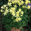 Columbine_aquilegia_x_caerulea_origami_yellow.thumb