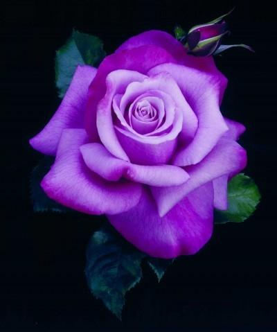 Modern_roses_rosa_wekquaneze_pp13_120.full