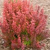 Barberry, 'Orange Rocket'
