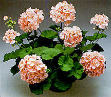 Geranium, Zonal 'Peaches'
