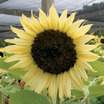 Sunflowers_helianthus_x_italian_white.thumb