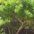 Tropicals_allamanda_schottii-1.small