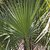 Palms_and_cycads_acoelorrhaphe_wrightii.small