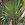 Palms and Cycads: Acoelorrhaphe wrightii